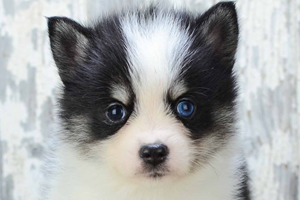 Pomsky Puppies For Sale In California Pomsky Pups San Diego