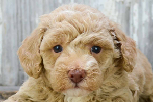 Toy Poodle Puppies For Sale In California Toy Poodle Pups