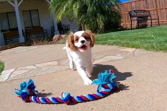 Male AKC Cavalier puppy!! - 12 week old Cavalier King Charles Spaniel
