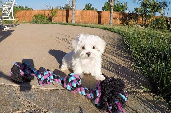 Super cute female Maltese puppy ! - 10 week old Maltese