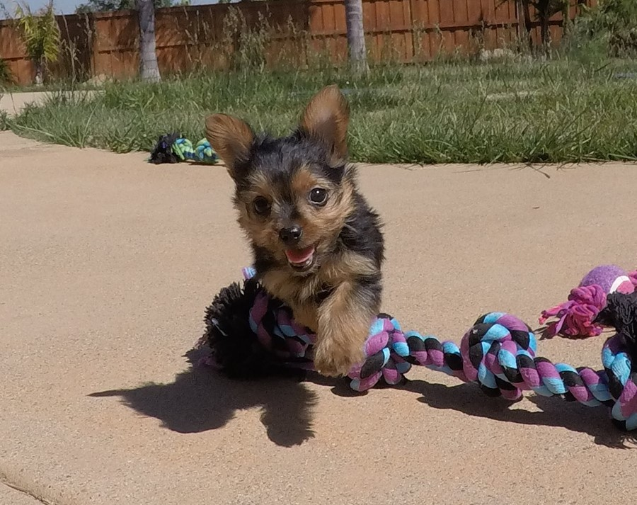 SUPER TINY female Yorkie puppy! 14