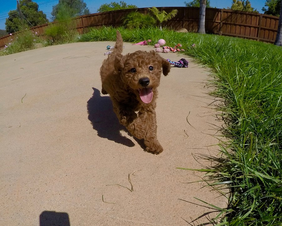 PERFECT Mini GoldenDoodle puppy! 16