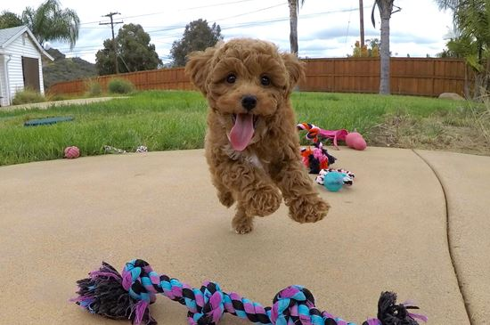 Adorable female Cavapoo puppy!! - 10 week old Cava Poo
