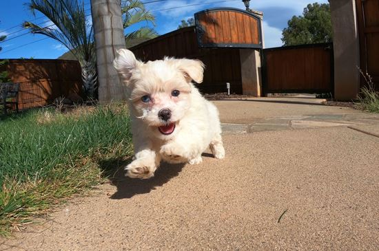 Adorable female MaltiPoo  puppy!! - 12 week old malti poo