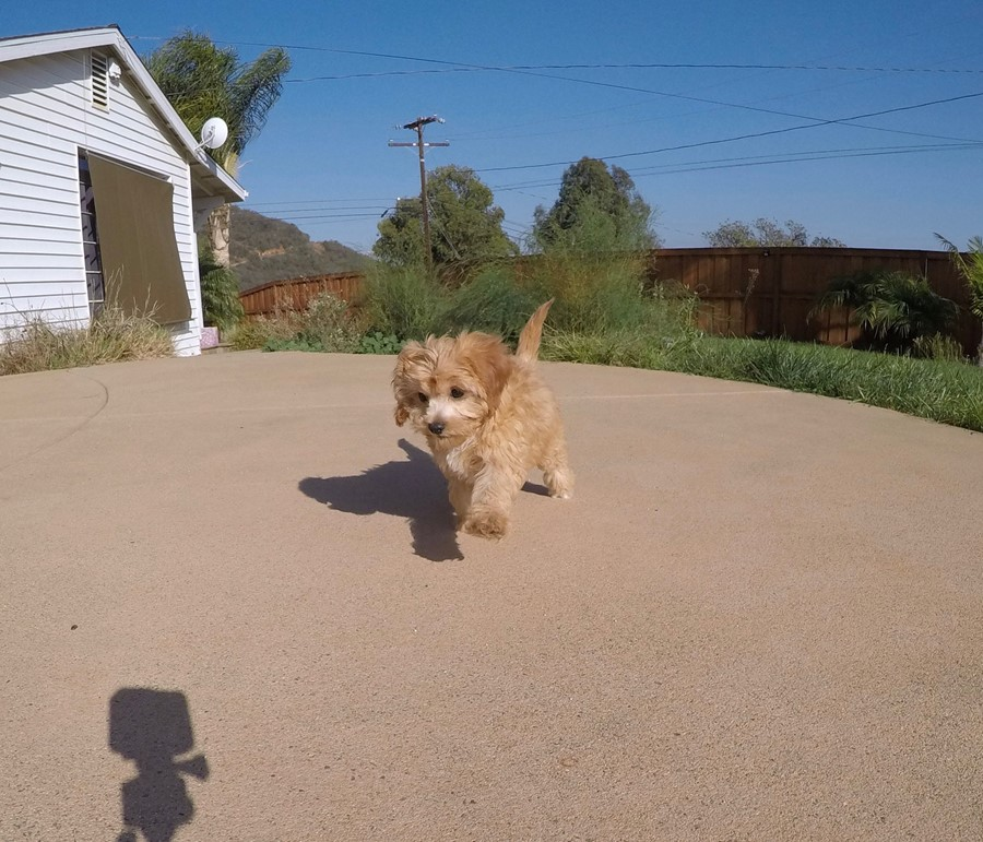 Super Cute Female CavaPoo Puppy! 8