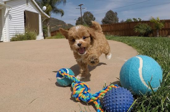 PERFECT male Cavapoo designer puppy !! - 11 week old Cava Poo
