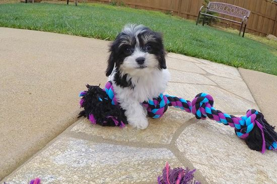 Adorable female CavaChon puppy !! - 9 week old Cava Chon