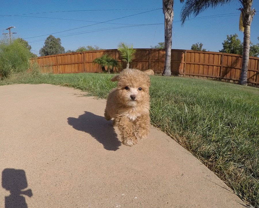 Tiny Male CavaPoo Puppy !! 1