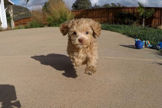SUPER TINY female CavaPoo puppy! - 27 week old Cava Poo