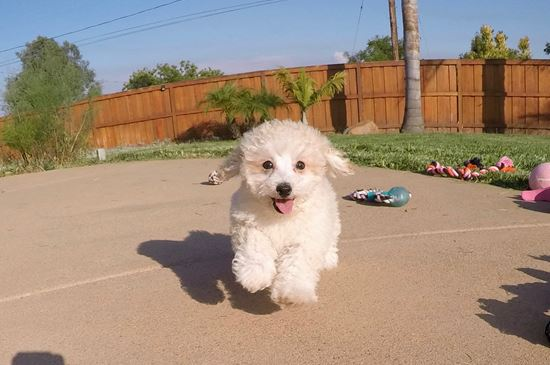 Adorable MaltiPoo designer puppy! - 10 week old malti poo