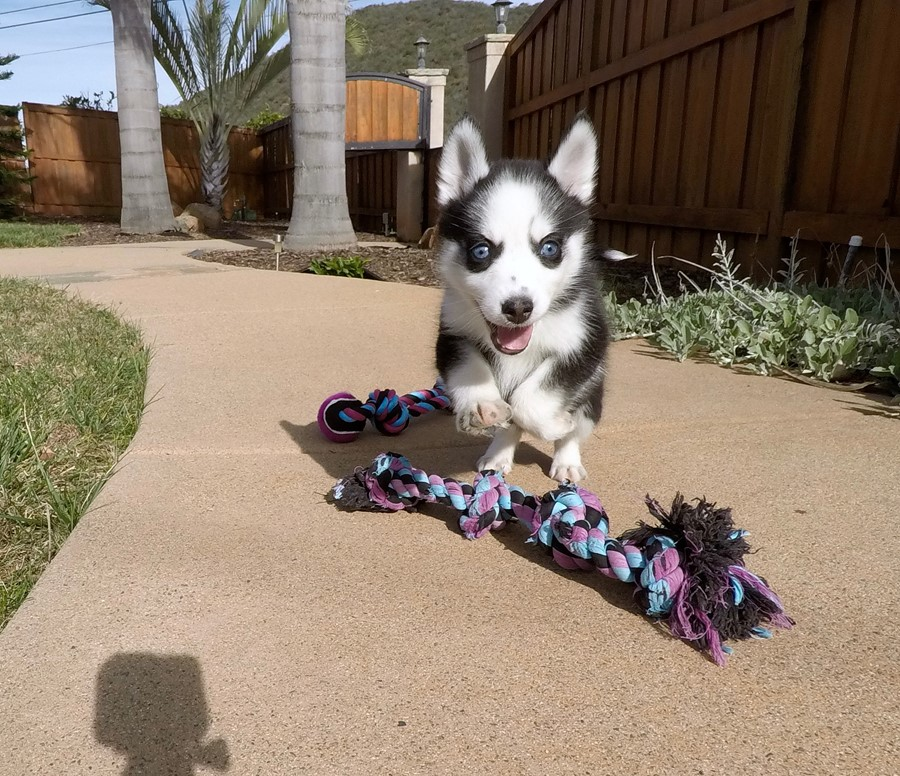 BLUE EYED female Pomsky puppy! 11