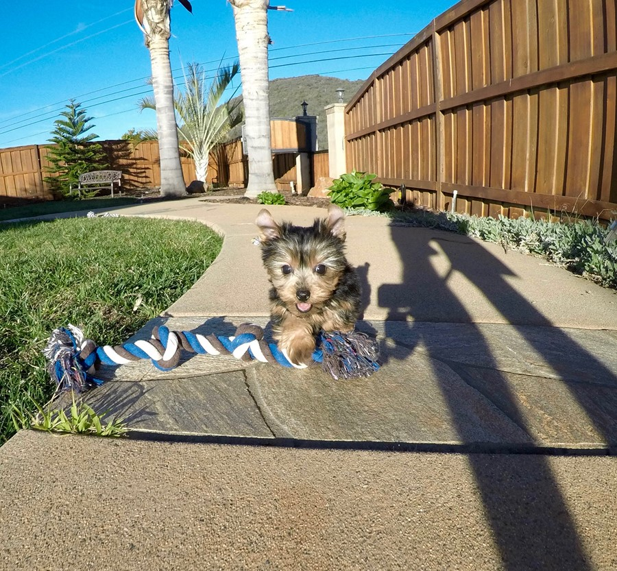 PERFECT male ACA Yorkie puppy!! 3