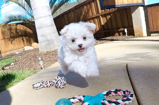 super cute female AKC Maltese - 34 week old Maltese