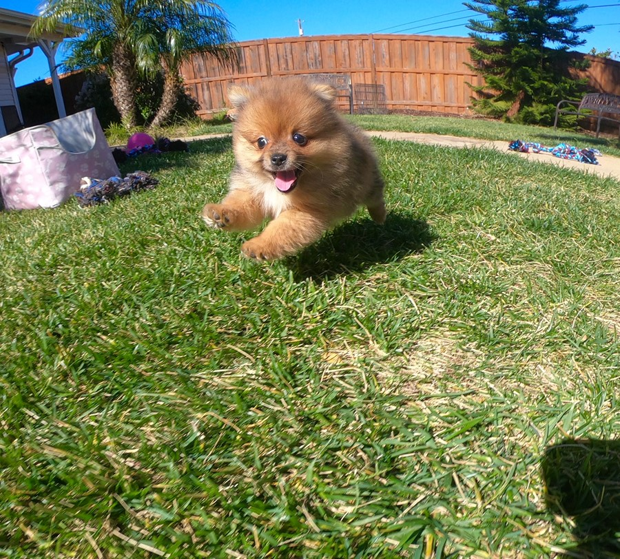 PERFECT male Pomeranian puppy! 2