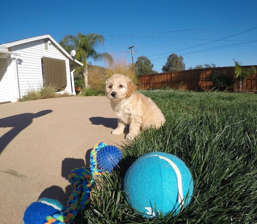 Male Mini Goldendoodle puppy !! 3