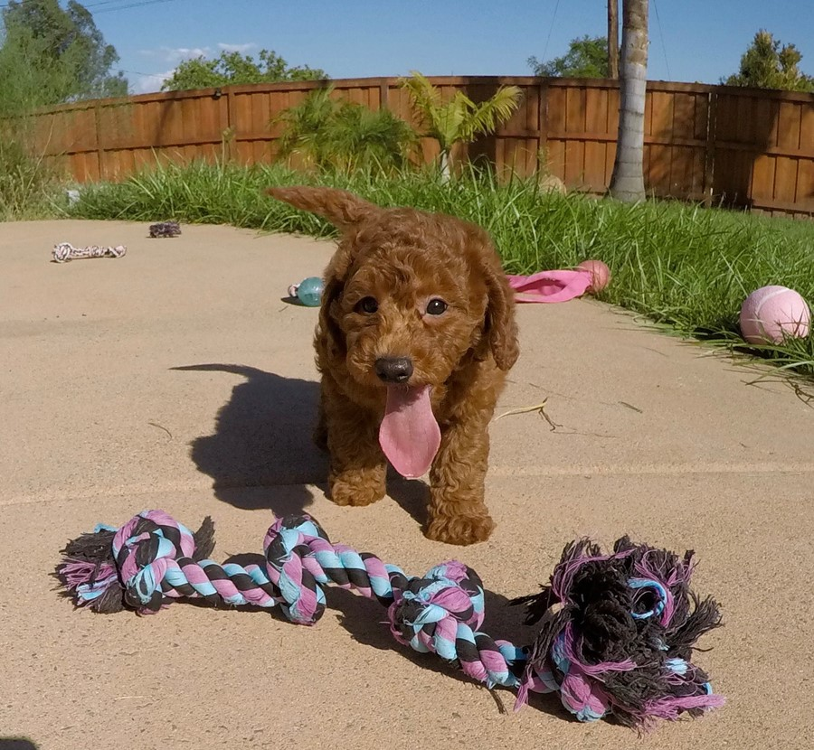 PERFECT Mini GoldenDoodle puppy! 1