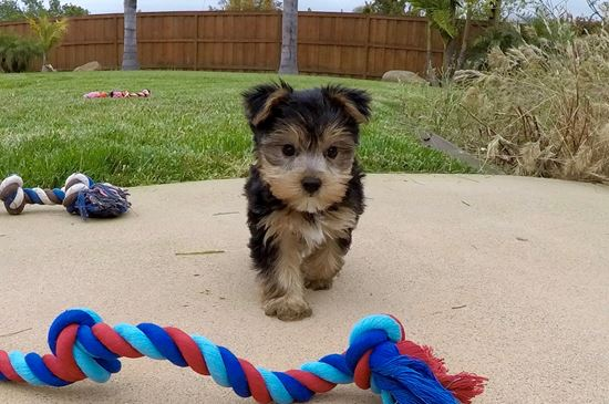 Male ACA Yorkie puppy ! - 11 week old Yorkshire Terrier