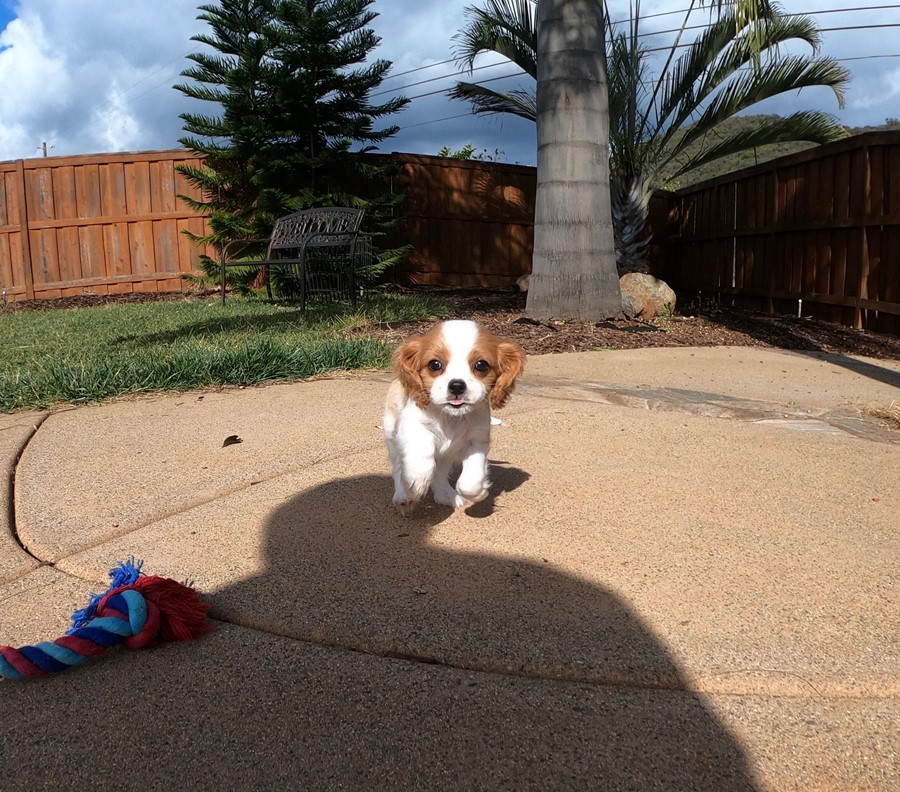 PERFECT male AKC Cavalier puppy!!! 5