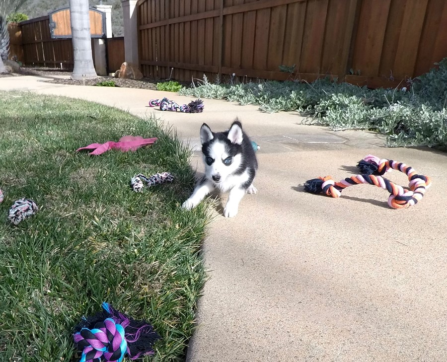 BLUE EYED female Pomsky puppy! 12
