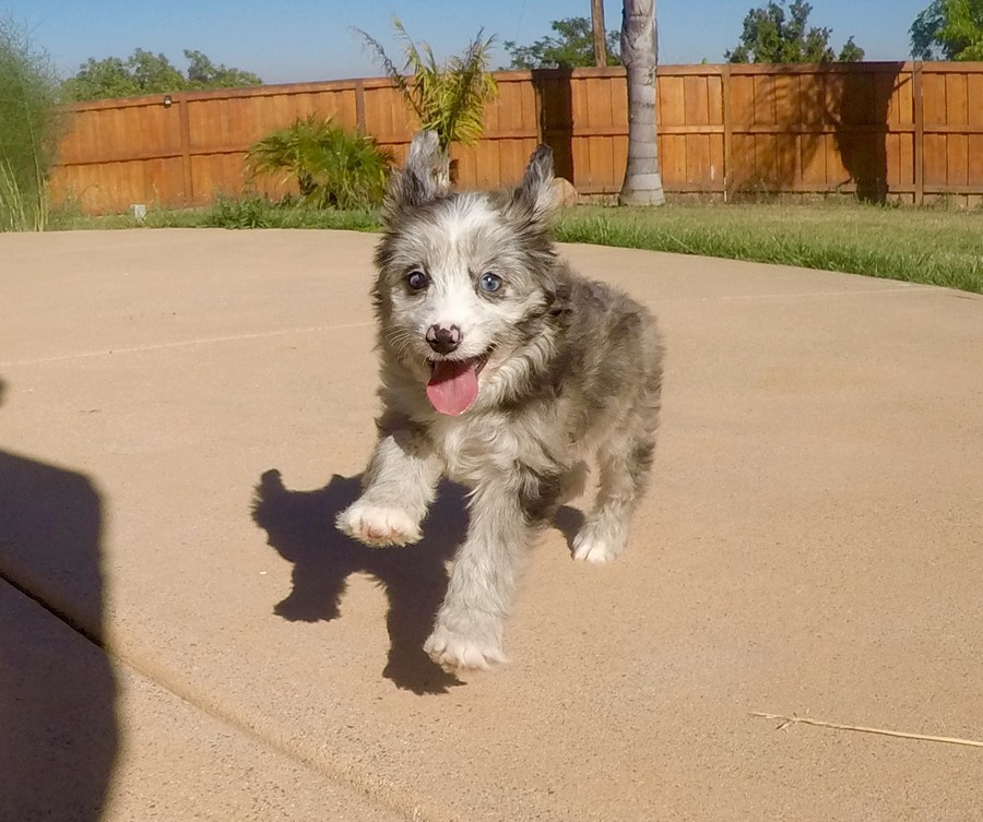 Male Mini AussiePoo Designer puppy!!  12