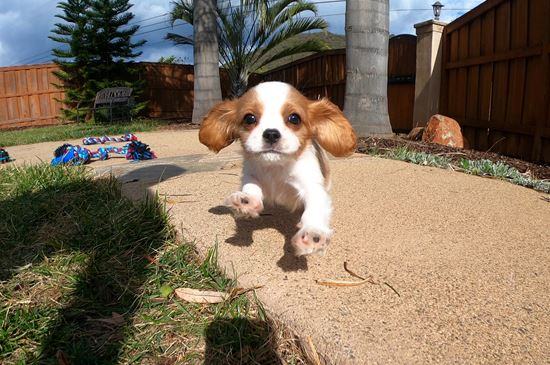 PERFECT male AKC Cavalier puppy!!! - 9 week old Cavalier King Charles Spaniel