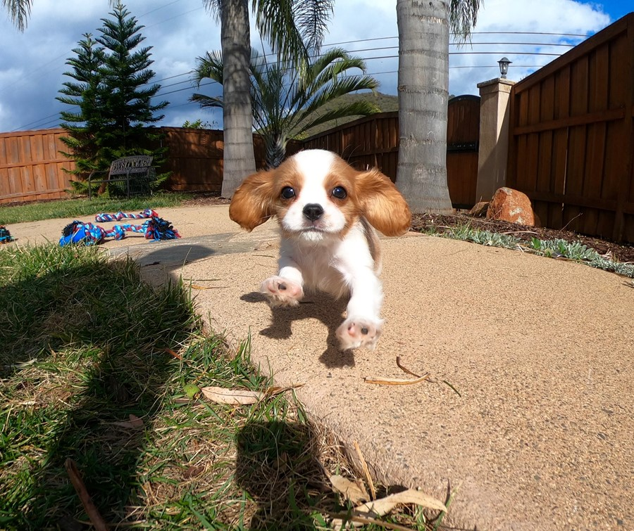 PERFECT male AKC Cavalier puppy!!! 1