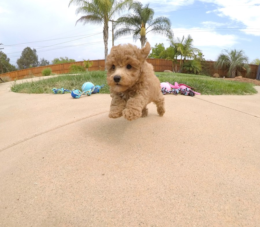 Adorable female CavaPoo puppy! 6