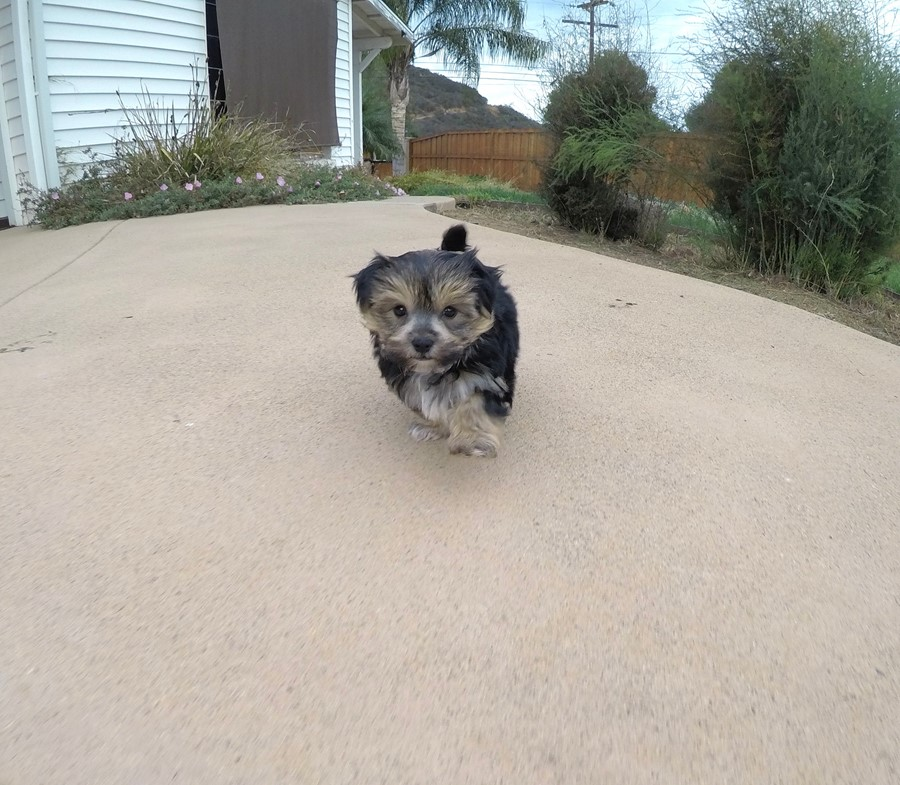 Adorable Male Morkie Puppy !! 5