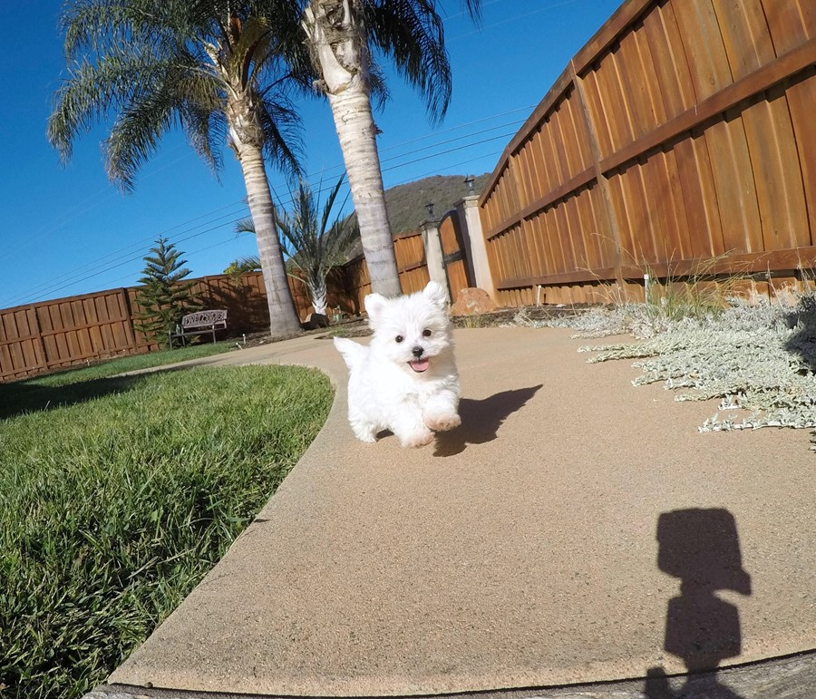 SUPER TINY MaltiPoo Puppy!! 7