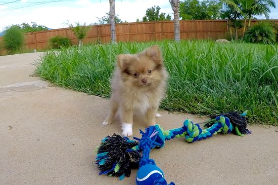pomeranian san diego pomeranian puppies for sale in california pom pups for 3973
