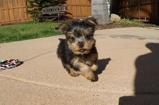 TINY female ACA Yorkie puppy! - 10 week old Yorkshire Terrier