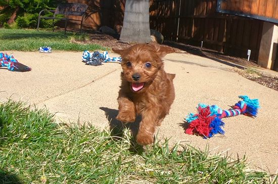 TINY male CavaPoo puppy! - 12 week old Cava Poo