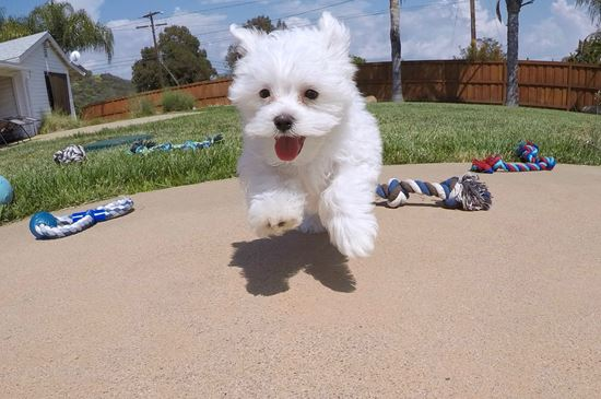 Adorable ACA Maltese puppy!!! - 12 week old Maltese