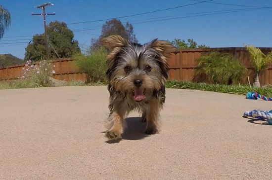 Adorable male ACA Yorkie puppy!! - 23 week old Yorkshire Terrier