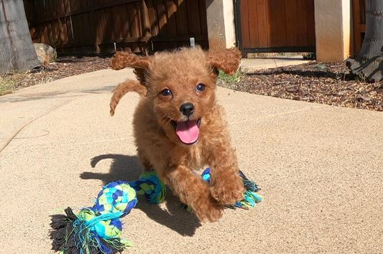 Cute male Mini Goldendoodle puppy!!! - 12 week old Mini Goldendoodle