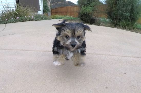 Adorable Male Morkie Puppy !! - 54 week old Morkie