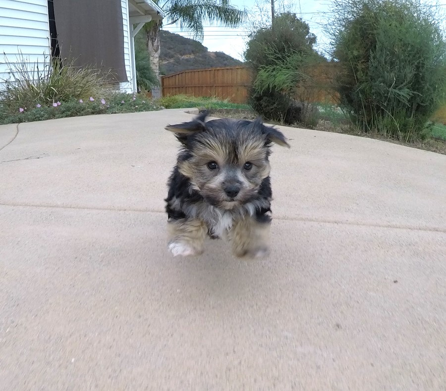 Adorable Male Morkie Puppy !! 1