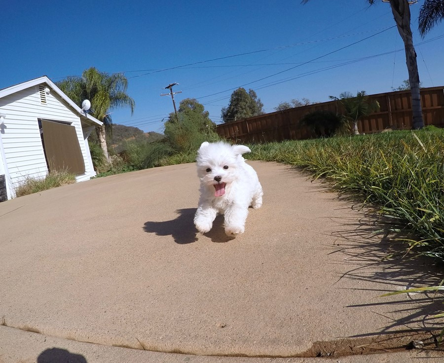 PERFECT Male ACA  Maltese puppy!! 10