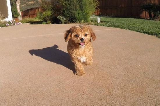 Male Cavapoo designer puppy !! - 63 week old Cava Poo