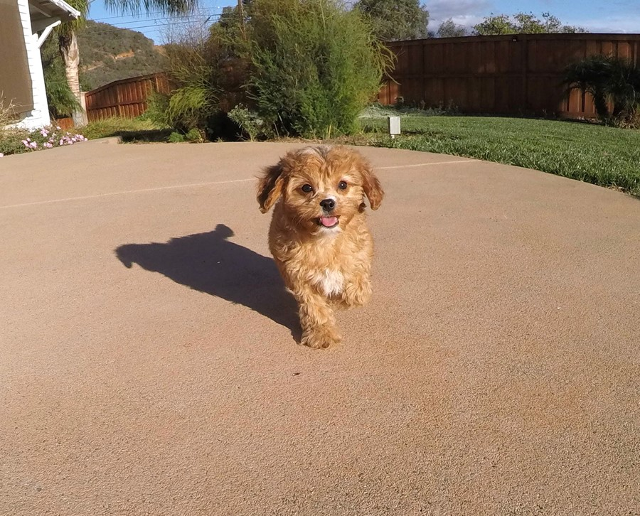 Male Cavapoo designer puppy !! 1