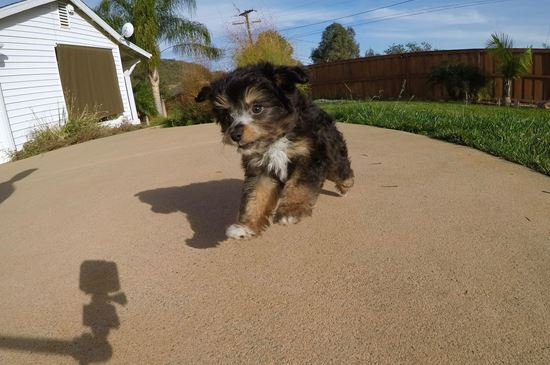 Super cute Mini AussiePoo puppy !! - 8 week old Mini AussiePoo