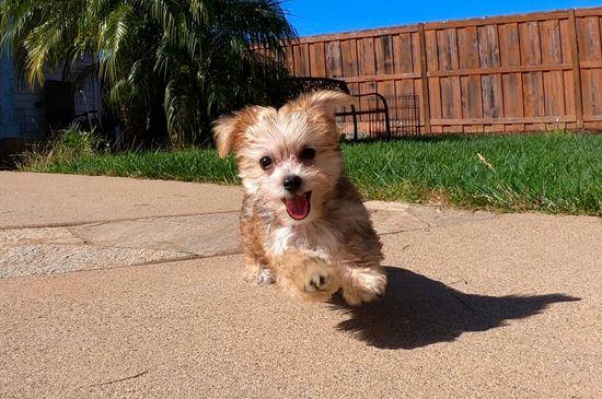 TINY male Morkie designer puppy!! - 11 week old Morkie