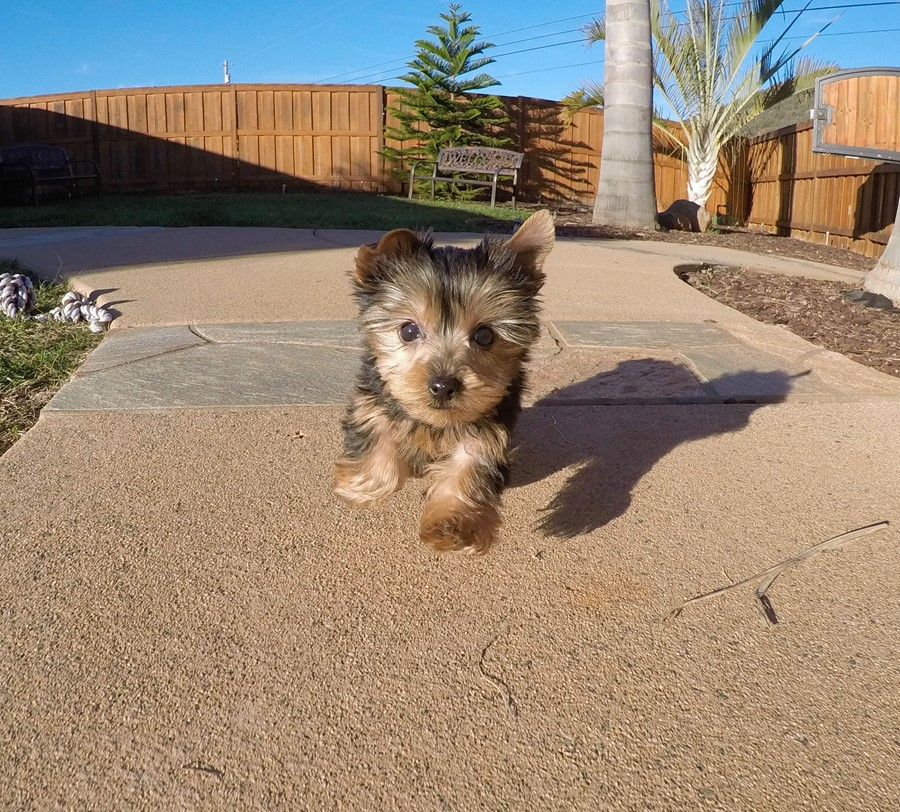 PERFECT male ACA Yorkie puppy!! 1
