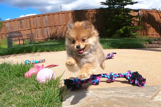 Super cute Pomeranian puppy !!! - 37 week old Pomeranian