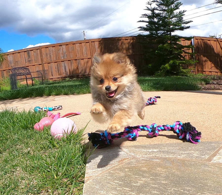 Super cute Pomeranian puppy !!! 1