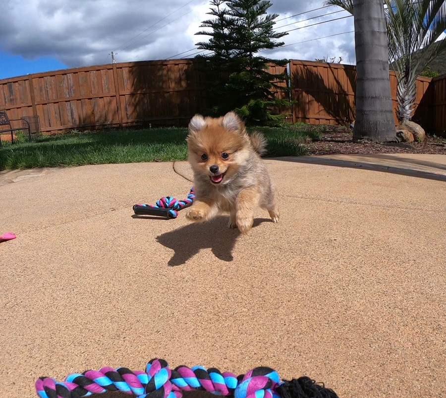 Super cute Pomeranian puppy !!! 9