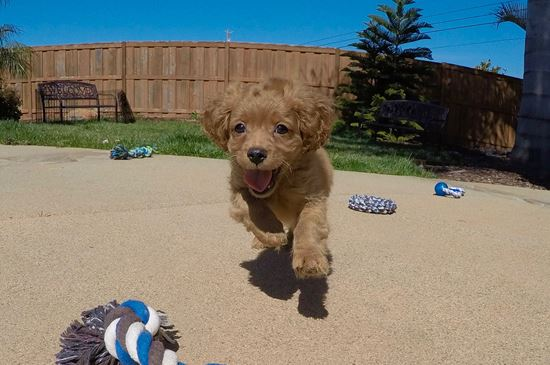 Adorable male Cavapoo puppy!!! - 12 week old Cava Poo