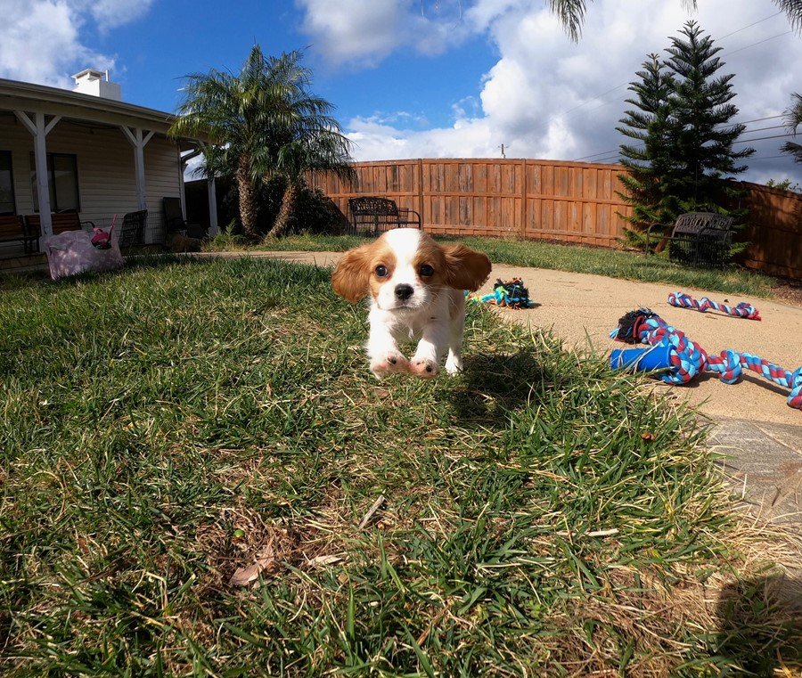 PERFECT male AKC Cavalier puppy!!! 10