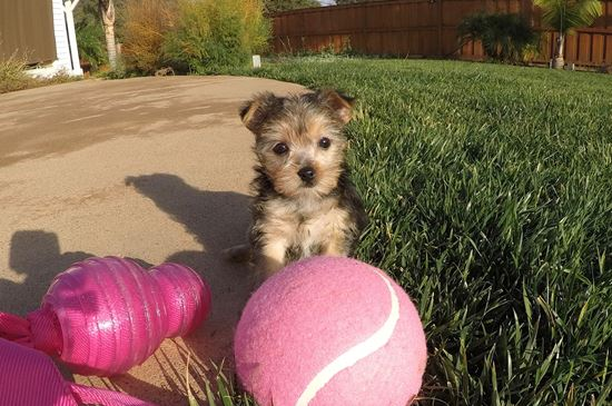 Adorable female Morkie puppy !! - 11 week old Morkie
