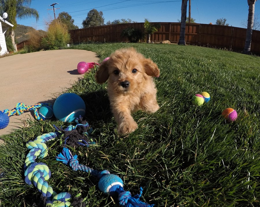 Stunning male Cavapoo puppy !! 14